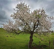 In blossom by Hans Kawitzki