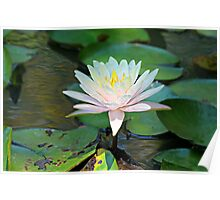 Pink and White Lily Whispers Poster