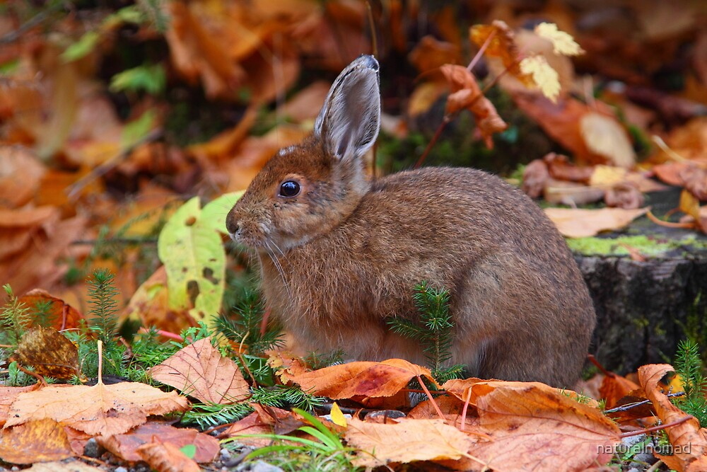 Snowshoe Hare in Autumn  by naturalnomad