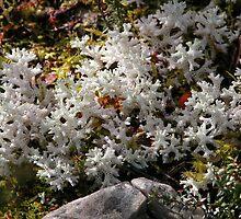 Coral Lichen, Hansons Track, Cradle Mountain,Tasmania, Australia. by kaysharp