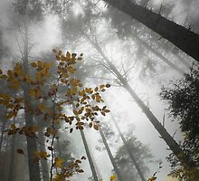 Foggy Forest II by Saka