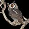 White Faced Scops Owl by Michael  Moss