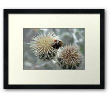 Bumble Bee harvesting pollen on flowers Framed Print