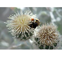 Bumble Bee harvesting pollen on flowers Photographic Print