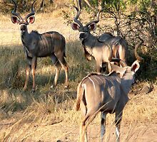 Kudu (2) by Margaret  Hyde