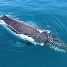 humpback whale at Hervey Bay, Queensland by gaylene