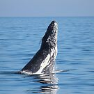 humpback whale - breaching by gaylene