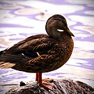 Duck by Sue Ratcliffe