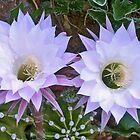 Cactus Double Flower - Pingelly, Wheatbelt, Western Australia by Mo Davies