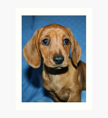 Mini smooth dachshund puppy Art Print