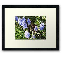 Grape Hyacinth -make a good border Framed Print