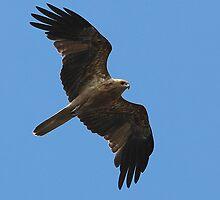 'Whistling Kite' by bowenite