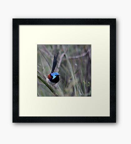 Variegated Fairy Wren Framed Print