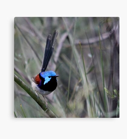Variegated Fairy Wren Canvas Print