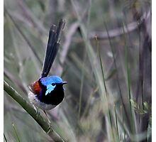 Variegated Fairy Wren Photographic Print