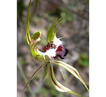 Caladenia tentaculata - Mantis Orchid Photographic Print