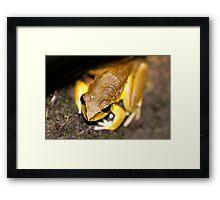 Lesueur's Tree Frog Framed Print