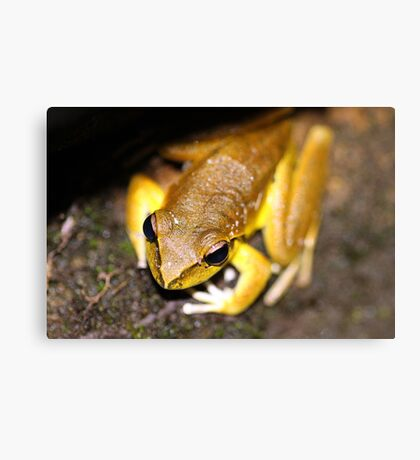 Lesueur's Tree Frog Canvas Print