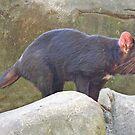 Tasmanian Devil, Queensland, Australia by Adrian Paul