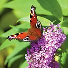 Peacock Butterfly on Buddleia by Lisa Marie Robinson