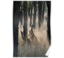 Kangaroos on Alert in the Bush Poster
