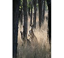 Kangaroos on Alert in the Bush Photographic Print