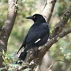 Currawong in the Bush by aussiebushstick