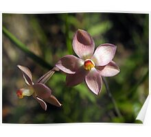Sun Orchid, Pink (Thelymitra carnea) Poster