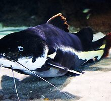 Huge Catfish by Paulette1021