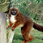 Lemur by Elaine123