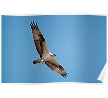 Osprey Catches Fish Poster