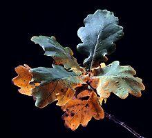Autumnal Oak Leaves by Paul Rumsey