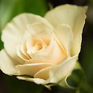 White Rose by Natalie Broome