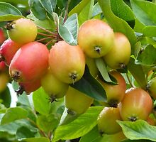 Crab Apples by Lilian Marshall