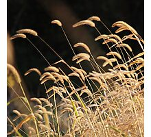 Musical Grass Notes Photographic Print