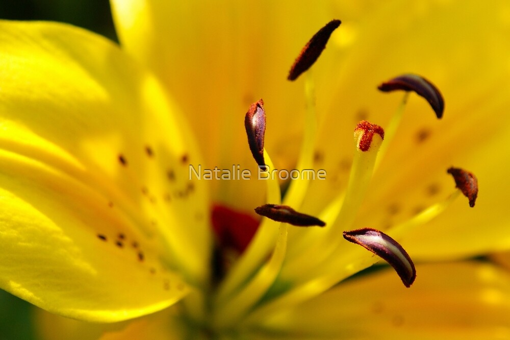 Summer Lily by Natalie Broome