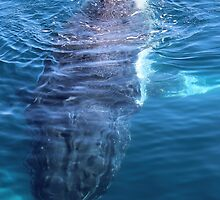 humpback whale swimming underwater by gaylene