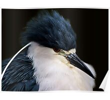 Black Crowned Night Heron Up Close Poster