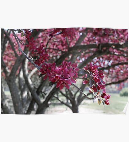 Red Cherry Blossoms Poster