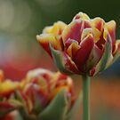 Sunny Tulip by Lindie Allen