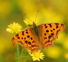 comma butterfly with wild daisy by davvi