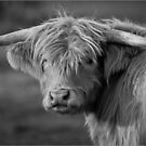 Scottish Highland cattle by (Tallow) Dave  Van de Laar