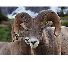 Rams are close! Photographic Print