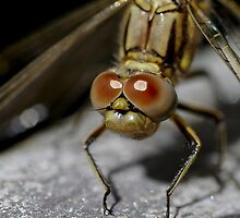 Dragonfly by Helena Bolle