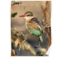 Brown Hooded Kingfisher Poster