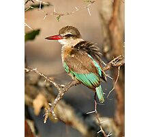 Brown Hooded Kingfisher Photographic Print
