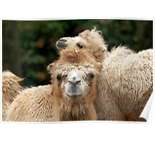 Love you Mom - Bactrian Camel with Baby Poster