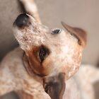 Australian Cattle Dog by earthsmate