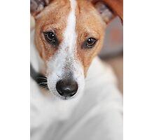 Chihuahua Cross Photographic Print