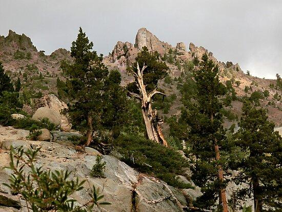 Cedar near Ebbets Pass Sierra Nevada California by Larry Darnell